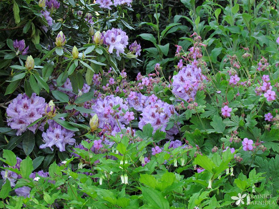 Cveće perene mix fi13-5